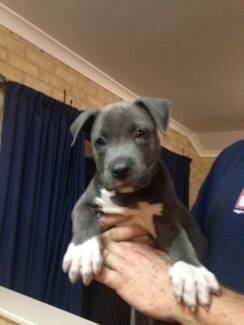 American Staffy Puppies Butler Wanneroo Area Preview