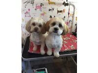 Mixed litter of shihpoo puppys for sale