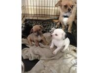 2 chihuahua x for sale
