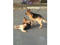 2 Alsatian Dogs looking for there forever home