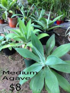 Medium size Agaves in Pots