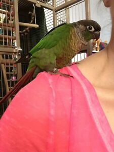 PENDING ADOPTION - Rehome Male Conure