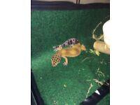 Lepoard gecko with medium vivarium and accesories