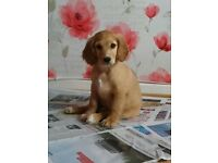 4 month cocker spaniel for sale