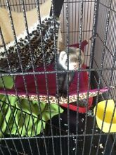 Ferret for sale Wollongong 2500 Wollongong Area Preview