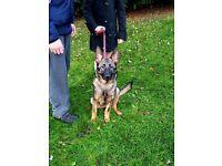 9 month old German Shepherd girl £500ono
