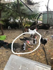 2 muscovy drakes & one rooster free