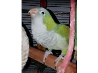 quaker parrot green 2 years old good little speeker cage included selling due to work