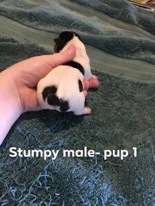 Mini Foxy Pups