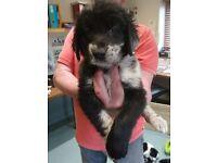 Beautiful Border Collie x Flat Coat Retreiver Puppies