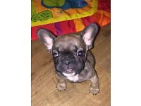 French Bulldog Puppies - Ready to go to their Forever homes