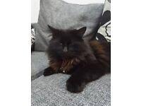 missing large black fluffy cat