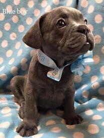 Marco Blue Boy Grandkids X Mr Choco Tan french bulldog pups for sale