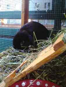 Male mini lop Mornington Mornington Peninsula Preview