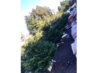 Real Christmas Trees - Hundreds available