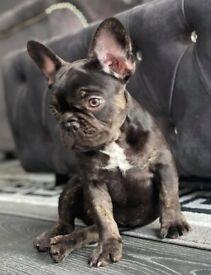 French Bulldog Boy Puppy L4 fluffy