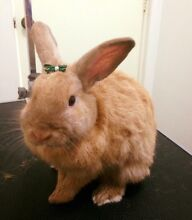 Rabbit Nail Clipping Gosnells Gosnells Area Preview