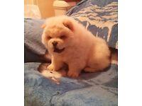 amazing pure chow boy puppy