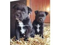 Border Collie X Border terrier pups