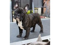 🌈Stunning true to type triple carrier french bulldogs for sale🌈