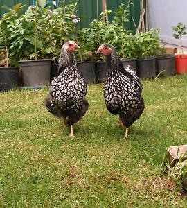 Silver Laced Wyandotte Hen (chicken) Parramatta Parramatta Area Preview