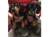 Stunning miniature dachshund puppies
