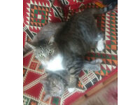 Two Tabby Cats for Sale