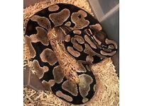 Female axanthic royal python