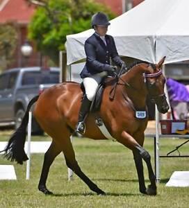 Iris Park Sinatra, Stunning show horse is Riley! Fentons Creek Loddon Area Preview