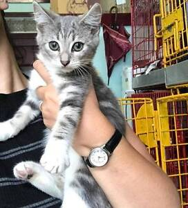 GIVE A RESCUE KITTEN A HOME Dulwich Hill Marrickville Area Preview