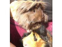 2 female guinea pigs for sale