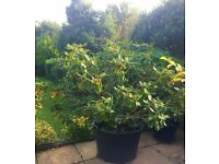 Price Reduced Must GO! RHODODENDRON HORIZON MONARCH in a whopping 200 Litre pot