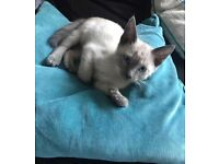 Traditional Siamese Oriental Blue point Male, Neutered and Chipped £300