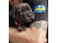Staffordshire Bull Terrier, puppies