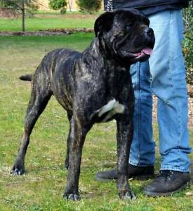 Geelong Region, VIC | Dogs & Puppies | Gumtree Australia Free Local
