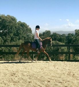 13.1 Riding Pony for sale Panton Hill Nillumbik Area Preview