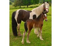 Very Sweet Bay Foal For Sale