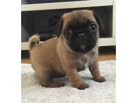 3/4 pug puppy