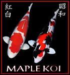 MAPLE KOI