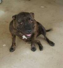 female staffy Ipswich City Preview