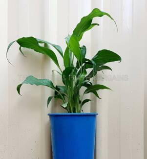 Multiplanted Peace Lily Sweet Chico Plant