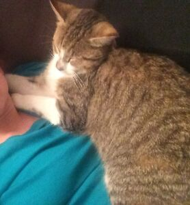 LOST MALE TABBY CAT Mullaloo Joondalup Area Preview