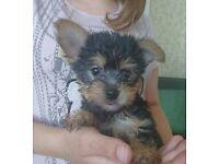 Gorgeous, Yorkie X Chihuahua (Chorkie) Girl Pup.