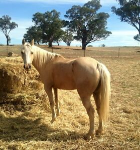 Palomino Quarter Horse x Gelding. 14hh. 7 yrs old Nangus Gundagai Area Preview