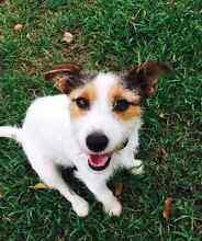 Jack Russel Puppies Gracemere Rockhampton City Preview