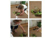Re-homing horse field tortoise 7 years old female