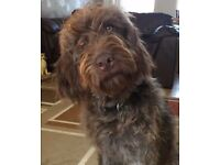 F2 Medium Sized Labradoodle Puppies - parents fully health checked - ready in 4 weeks