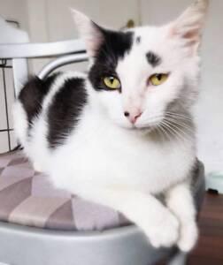 AC0973 : Sundae - CAT for ADOPTION - Vet Work Included