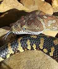 Male Bredli Centralian Carpet Python and Enclosure Cockatoo Cardinia Area Preview