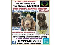 Stolen young, male, chocolate/brown cocker spaniel (white chest). Substantial reward for his return